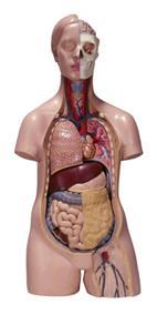 A model of the human body showing its internal organs