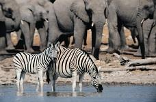 Zebras and elephants drinking from an African watering hole